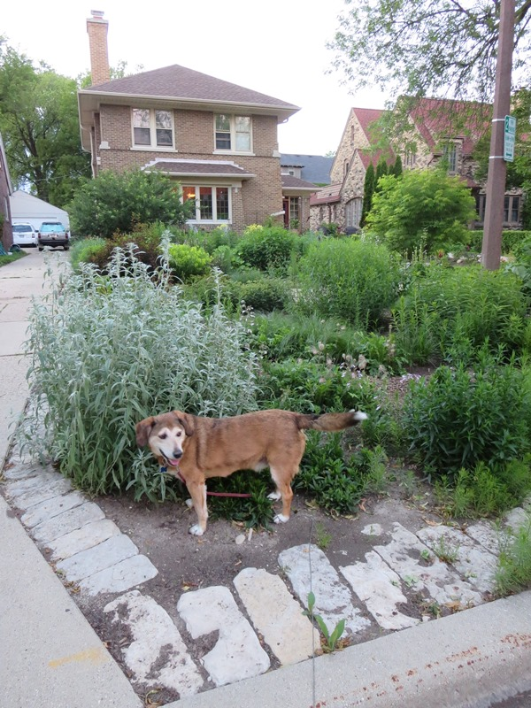 Front lawn replaced with native plants to reduce stormwater runoff.