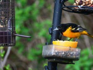 Backyard Birding 101