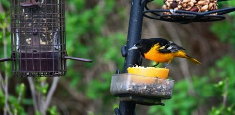 Oriole on feeder